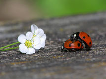 Two loving ladybugs Stock Images