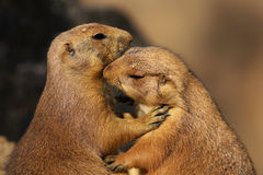Two loving prairie dogs Royalty Free Stock Photo