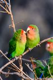 Two loving romantic rosy faced lovebirds. Two affectionate rosy faced lovebirds, clearly sweethearts Royalty Free Stock Photo