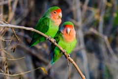 Two loving rosy faced lovebirds. On a perch Stock Photo