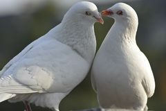Two loving white doves Stock Images