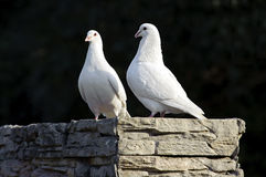 Two loving white doves Royalty Free Stock Photography