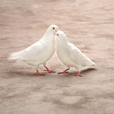 Two loving white pigeons Royalty Free Stock Image