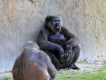 Two Lowland Gorillas Royalty Free Stock Photography