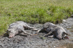 Two lucky pigs Royalty Free Stock Images