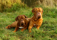 Two lying mastiffs. Stock Image