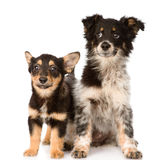 Two lying puppy looking at camera. isolated on white background Stock Images