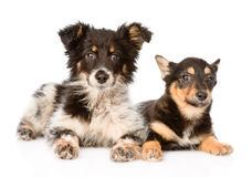 Two lying puppy looking at camera. isolated on white background Royalty Free Stock Photos