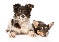 Two lying puppy looking at camera. isolated on white background Royalty Free Stock Images