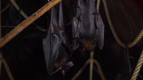 Lyles flying foxes hanging on a branch together in closeup, tropical bats from Asia, Vulnerable animal specie stock video