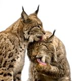 Two lynx royalty free stock images