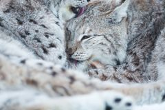 Two lynx cleaning fur in snow. Eurasian lynx laying in the snow and rests Stock Photography