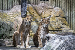 Two lynx live together in the cage Stock Photos