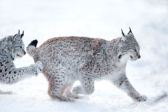 Two lynx playing in the snow. Eurasian lynx runs and practice hunting skills in the snow Stock Photo