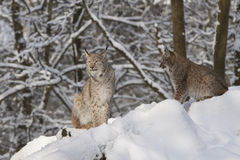 Two lynx Royalty Free Stock Photo