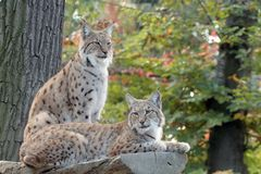 Two lynx resting. On wooden podium Royalty Free Stock Photo