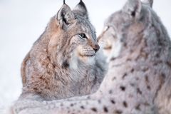 Two lynx rests in the snow. Two eurasian lynx laying in the snow Stock Image