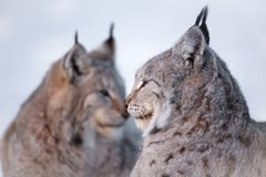Two lynx rests in the snow. Two eurasian lynx laying in the snow Stock Photos
