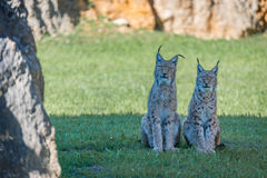 Two lynx side-by-side with sunny grass behind Royalty Free Stock Photo