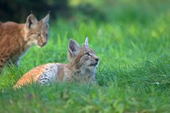 Two lynxes in wildlife park stock photo