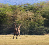 Two Maasai Giraffes Sparing with each other. Two Maasai Giraffes placing their hips together to start the fight for dominance royalty free stock photo