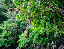 Two Macaca fascicularis hung on the tree. Monkey island, Koh Phi Phi, Thailand Royalty Free Stock Photo