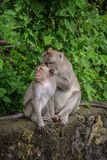 Two macague monkeys cleaning their fur. In Uluwatu temple, Bali Royalty Free Stock Photos
