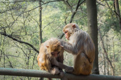 Two macaque monkeys grooming Royalty Free Stock Images