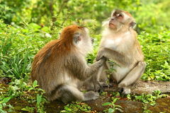 Two Macaques. Indonesian macaques monkeys in the jungle in Sumatra royalty free stock image