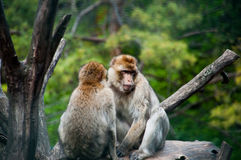 Two macaques. A couple of macaques lying on a rock Stock Images