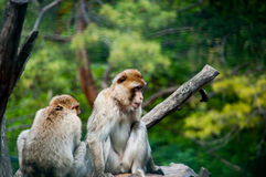 Two macaques. A couple of macaques lying on a rock Royalty Free Stock Photos