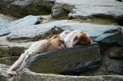 Two macaques. A couple of macaques lying on a rock Stock Photos