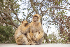 Two Macaques on the Gibraltar rock. Royalty Free Stock Photo