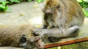 Two macaques grooming stock video footage