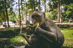 Two macaques sitting near the temples of Angkor Wat in Cambodia royalty free stock images
