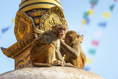 Two macaques on top of chorten Royalty Free Stock Images