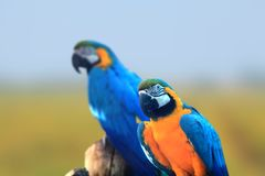 Two Macaw birds close up shot royalty free stock photography