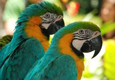 Two macaw love birds stock images