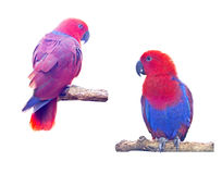 Two macaw parrot Royalty Free Stock Photography