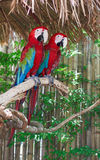 Two macaw parrot Royalty Free Stock Image