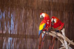 Two macaw parrots Royalty Free Stock Photos