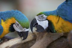 Two Macaw Parrots Royalty Free Stock Photo