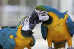 Two Macaw Parrots Royalty Free Stock Photography