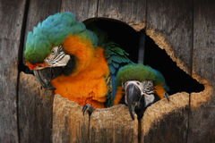Two macaw parrots in a barrel. Close up head shot of two macaw parrots in their nest barrel box Stock Photography