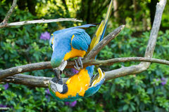 Two macaw parrots Royalty Free Stock Image