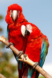 Two macaw parrots sitting together on a branch. Two parrots on one branch, sitting together looking into camera, speaking together Royalty Free Stock Photography