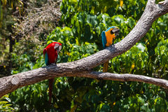 Two macaw parrots Stock Photos