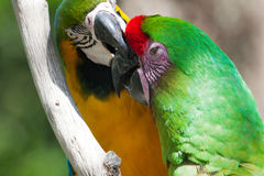 Two Macaw's, one getting bit  perched on a tree Stock Photo