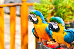 Two macaw on table Stock Photo