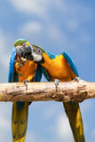 Two macaws. Stock Photo